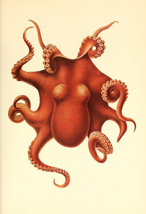 Dessins et illustrations de céphalopodes dessin illustration poulpe cephalopode 01 bonus