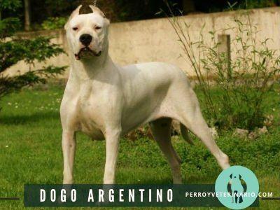 Pin En Dogo Argentino