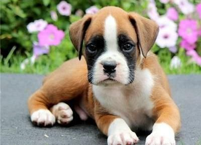 Cyoot Puppy Ob Teh Day Widdle Bully Puppies Pug Puppies Black
