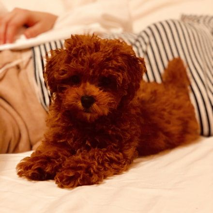 Dog Secrets The Fastest Way To Your Dream Poodle Poodle