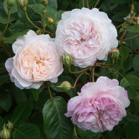 Our 2019 David Austin Rose Collection   Garden Tips   West Coast Gardens
