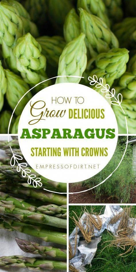 How To Grow Asparagus From Crowns This Delicious Spring Vegetable Also Makes A Gorgeous Ornamental Plant V Growing Asparagus Asparagus Home Vegetable Garden