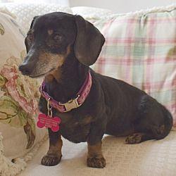 Barium Springs Nc Dachshund Meet Peanut A Pet For Adoption
