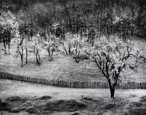 Ansel Adams (American, 1902-1984), Oak Tree, Rain, Sonoma County Hills, California, 1973-1977, photography