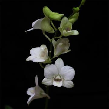 Dendrobium Kingianum 02 25 2019 Dendrobium Orchids Plants Orchids