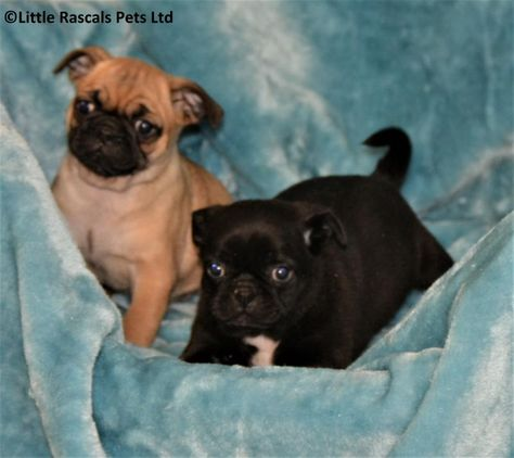 Chunky 15 16 Pug Puppies Designer And Cross Breed Puppies For