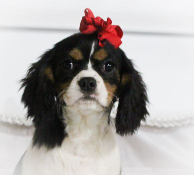 Chloe A Female Akc Cavalier King Charles Spaniel Puppy In