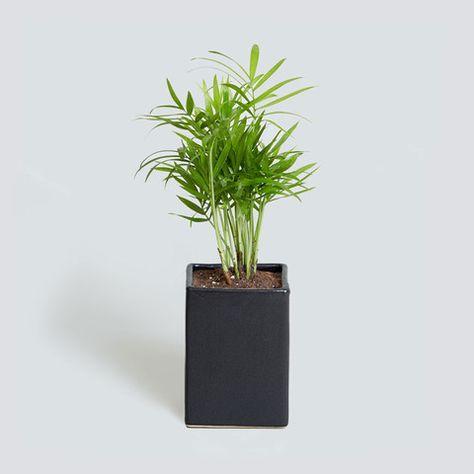 Chamaedorea Elegans Hamedoreya Izyashnaya Terrarium Plants Indoor