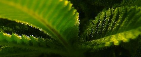 Decarboxylating Cannabis: Turning THCA into THC - Cannabis used to make tinctures as well as other edible cannabis products requires decarboxylation. Read this Easy Steps to Decarboxylation Guide