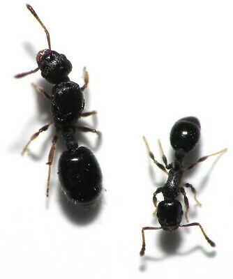 Small Temnothorax Longispinosus Colony Queen Ant Ant Colony Live Ants In 2020 Ant Colony Queen Ant Ants