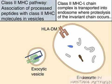 MHC Class II Processing - YouTube