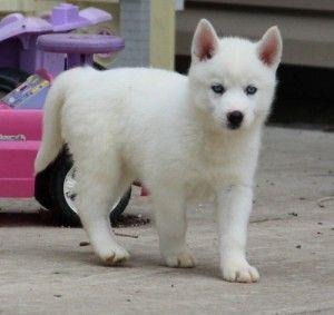 White Siberian Husky Puppies For Sale Evans Ga Asnclassifieds Husky Puppies For Sale Husky Puppy Siberian Husky Puppies