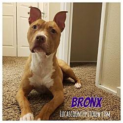 Toledo Oh Labrador Retriever Meet Bronx A Pet For Adoption