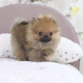 كلاب بوميرانيان لإعادة الواتس اب 13233645209 Pomeranian Puppy Puppies Buy Puppies