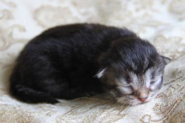 Cats To Adopt Nyc Sweatersforcats Siberian Kittens Siberian Cats For Sale Siamese Cat Tattoos