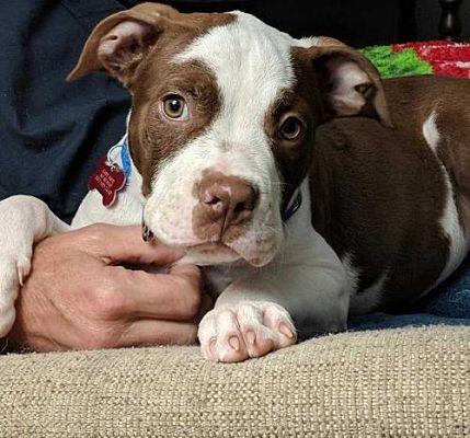 Boston Ma Pit Bull Terrier Meet John Isner Us Open A Dog For