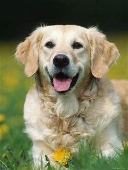 Golden Retriever Goldenretriever Dogs Golden Retriever Dog