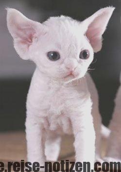 Idea By Kaitlyn Frost On Friendship Devon Rex Kittens Kittens Kittens Cutest