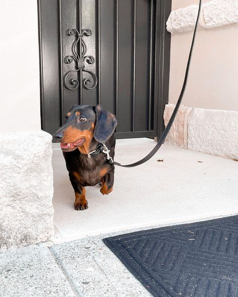 "Dirty Dachshunds's Instagram post: ""Lookin good, feeling good on my walk this morning...✨ . . . . . #weeniedog #puppy #cute #dachshund #puppiesofinstagram #sausagedogpuppy…"""