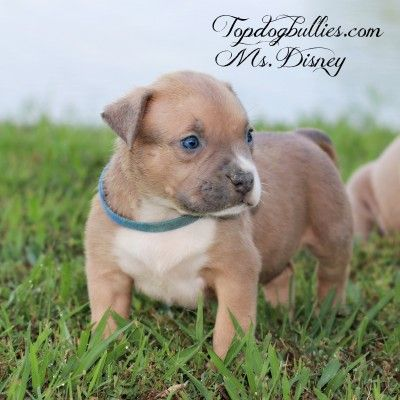Blue Pitbull Puppies Forsale Pitbull Breeder Pitbull Puppies American Bully For Sale Pitbull Puppies Blue Pitbull Pitbull Breeders