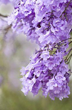 Fiori Jacaranda.Pin Di Naomi Giovana Su The Beauty Of Flowers Nel 2020 Fiori