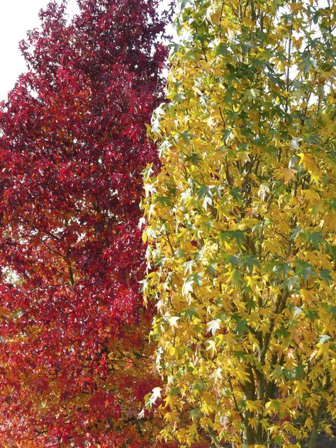 Liquidambar styraciflua My feet take me, every autumn, to a small stand of liquidambars in the arboretum at RHS Wisley, trees which vie with the Japanese Maple for the bonfire colours they take on …