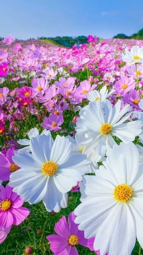 Pin By Nsakthivel On Flower In 2020 Cosmos Flowers Beautiful Flowers Amazing Flowers
