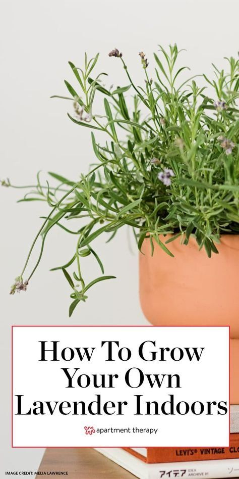 Lavender calms you when you're stressed and provides a stellar flavor profile in desserts and cocktails. Here's how to grow your own indoors. #lavender #freshlavender #herbs #herbgarden #indoorplants #indoorgarden #houseplants #lavendertips #lavendercare #plantcaretips