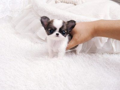 All Puppies For Sale Microteacups Posh Pocket Pups Chihuahua