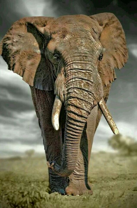 Elephant Bull Elephant Majestic Animals Elephants Photos