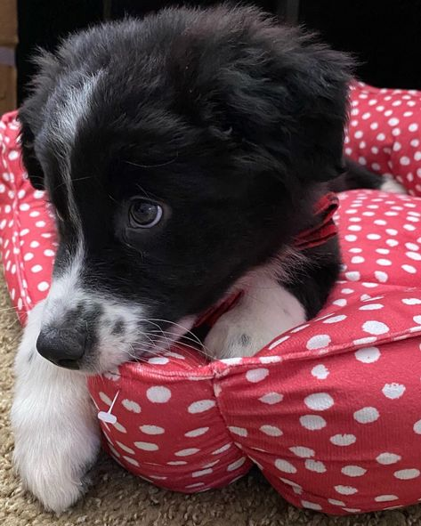30 Best Dog Names For Brilliant Border Collies Pictures Dogtime In 2020 Dog Names Best Dog Names Cute Dogs And Puppies