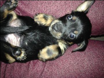 Litter Of 6 Chiweenie Puppies For Sale In Longview Wa Adn 26958
