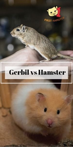 Pin On Gerbil Care