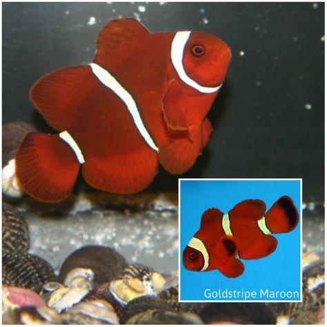 Maroon Goldstripe Maroon Clownfish Premnas Biaculeatus Clown Fish Fish For Sale Saltwater Aquarium Fish