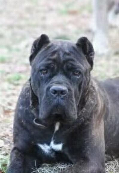 From i heart cane corso cane corso pinterest dog blue from i heart cane corso cane corso pinterest dog blue pits and fur babies malvernweather Images