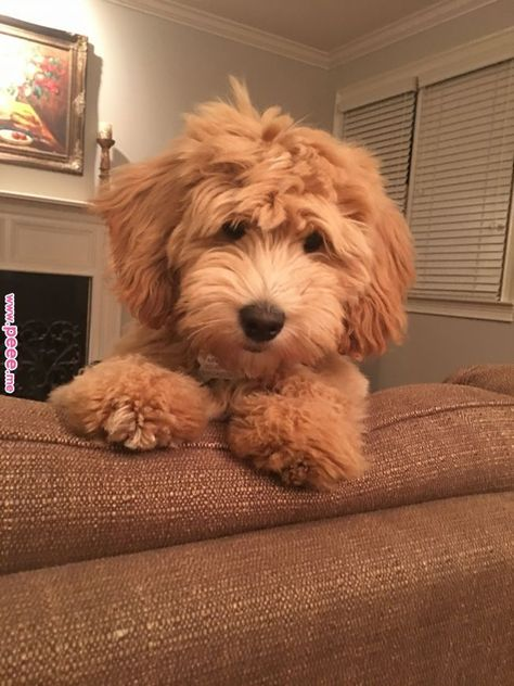 This doodle doesn't even look real. ❤️ #cutepuppythings | Goldendoodle Clipper Blade Size | Dog Clippers Reviews | How To Use Dog Nail Clippers. #dogstagram #Dogs and Puppies