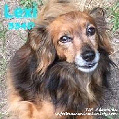 Spring Tx Papillon Meet Lexi A Pet For Adoption Dog