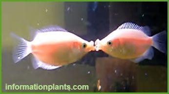 بالون كيسينج جرامي Baloon Kissing Gourami سمك زينة انواع الاسماك انواع الاسماك مع الصور معلوماتية نبات حيوان اسماك فوائد Kissing Gourami Fish Pet Fish