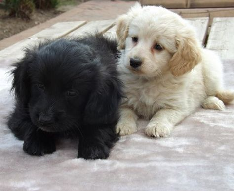 Pug and Cocker Spaniel Pucker