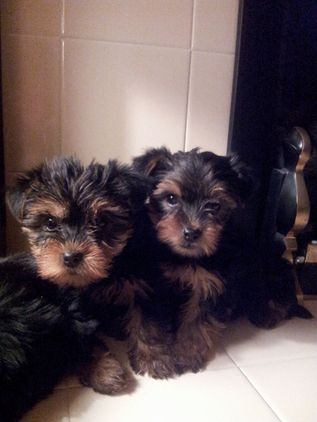 Yorkshire Terrier Mini Pups Adorable I Wants One Lol
