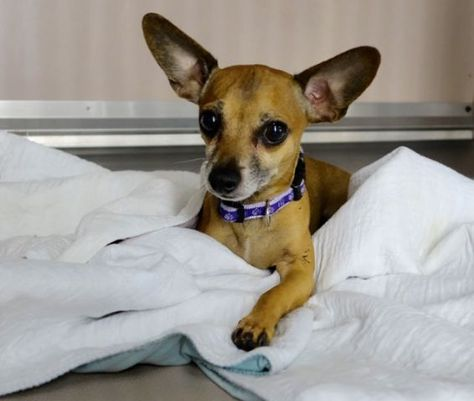 Safe 12 03 2015 Nunu A1059298 Safer New Hope Rescue Only Male Brown Chihuahua Sh Mix 5 Yrs Owner Sur Evaluate With Images Homeless Pets Chihuahua Pets