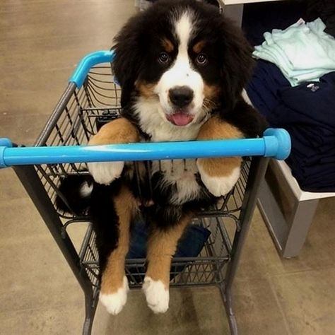 When me and mummy go food shopping #puppy #animal