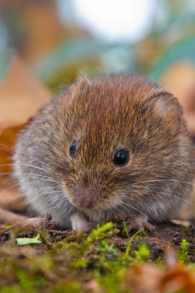97da20a7a1cf557de5db0ee6897581ae - How To Get Rid Of Voles Without Killing Them