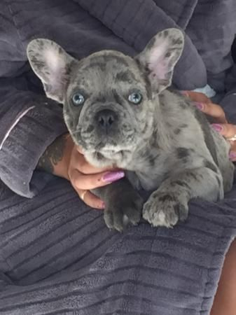 French Bulldogs Blue Merles 2 Boys For Sale In Wolverhampton