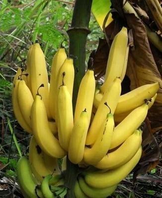 100 Pcs Dwarf Banana Bonsai Tree Tropical Fruit Outdoor