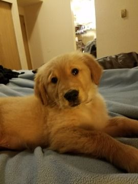 Golden Retriever Puppy For Sale In Sedro Woolley Wa Adn 60570 On