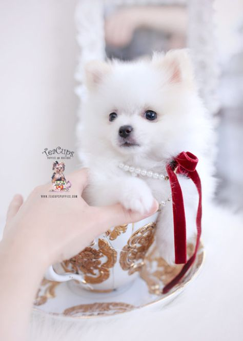 White Pomeranian Puppy For Sale Teacup Puppies 448 A Teacup Puppies For Sale Teacup Puppies Cute Teacup Puppies