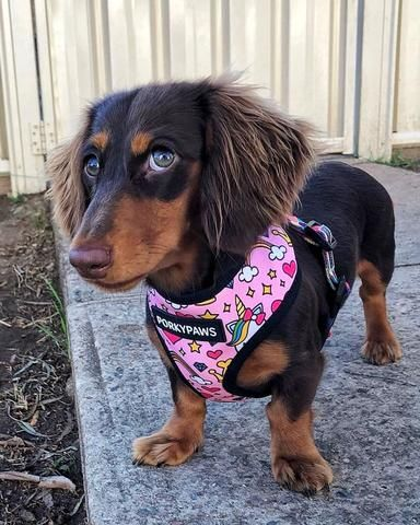 The Best Dachshund Harness Top 5 Picks In 2018 Dachshund Dog