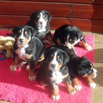 Van T Samaika Nest Berner Sennenhonden Berner Sennenhond Bouvier Bernois Bernese Mountain Dog Grote Zwitser Grote Zwitse Berner Sennenhond Puppy Puppies
