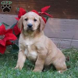 Puppies For Sale Under 500 Price Under 500 Greenfield Puppies In 2020 Golden Labrador Puppies Greenfield Puppies Shepherd Mix Puppies